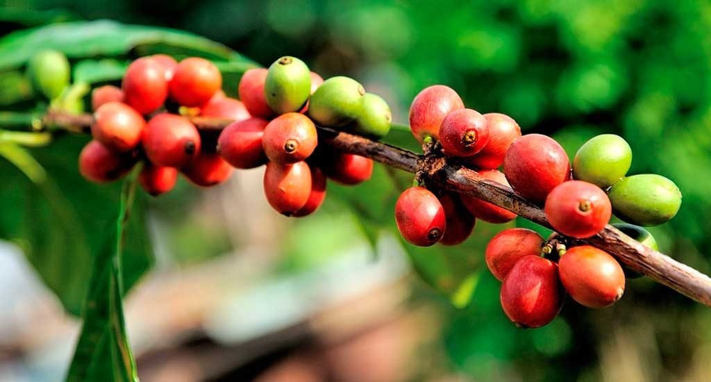 Domiruthperutravel Coffee plant